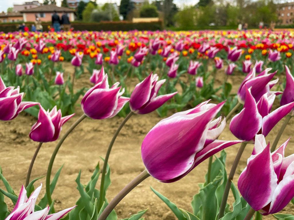 tulipani a bologna nel quartiere navile, una distesa di tulipani