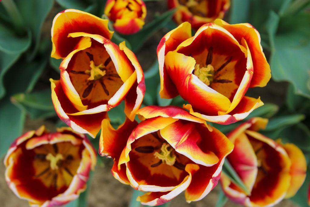 alcuni tra i tulipani più belli al vivaio di Bologna, al quartiere navile