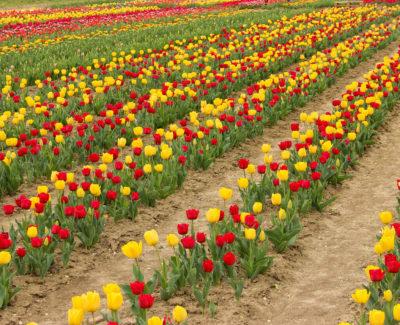tulipani a bologna nel quartiere navile, una distesa di tulipani rossi e gialli
