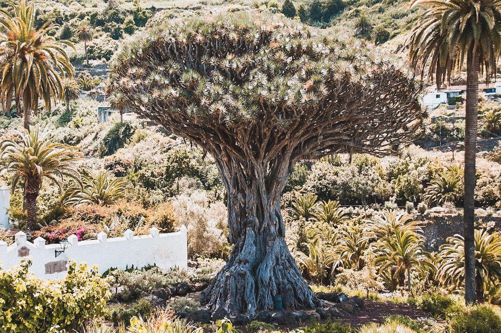il drago millenario di Tenerife,a icod de los vinos
